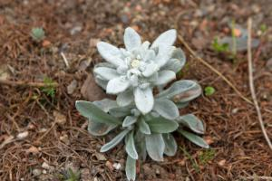 Alpine Pflanzen für Steingarten und Alpinenhaus