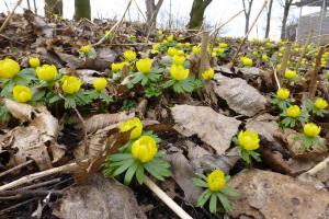 Frühlingsblüher im Garten: Der richtige Umgang mit Zwiebelpflanzen