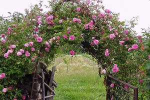 Rosenarten: Gartenrosen im Überblick