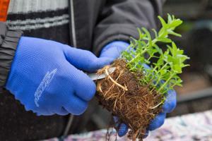 Minze vermehren: Rhizome teilen und einpflanzen