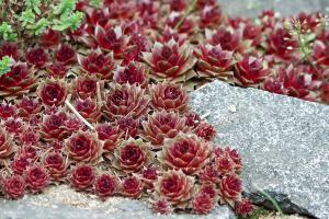 Bergwelt für daheim: Die 17 beliebtesten Steingartenpflanzen
