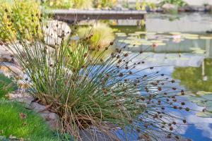 10 gartenfreundliche Teichrandpflanzen und Uferpflanzen