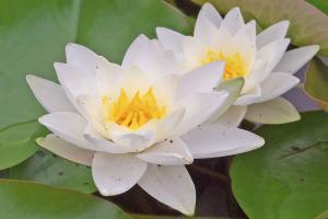 10 imposante Wasserpflanzen für den Gartenteich