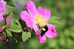 Historische Rosen und Wildrosenarten für den Naturgarten