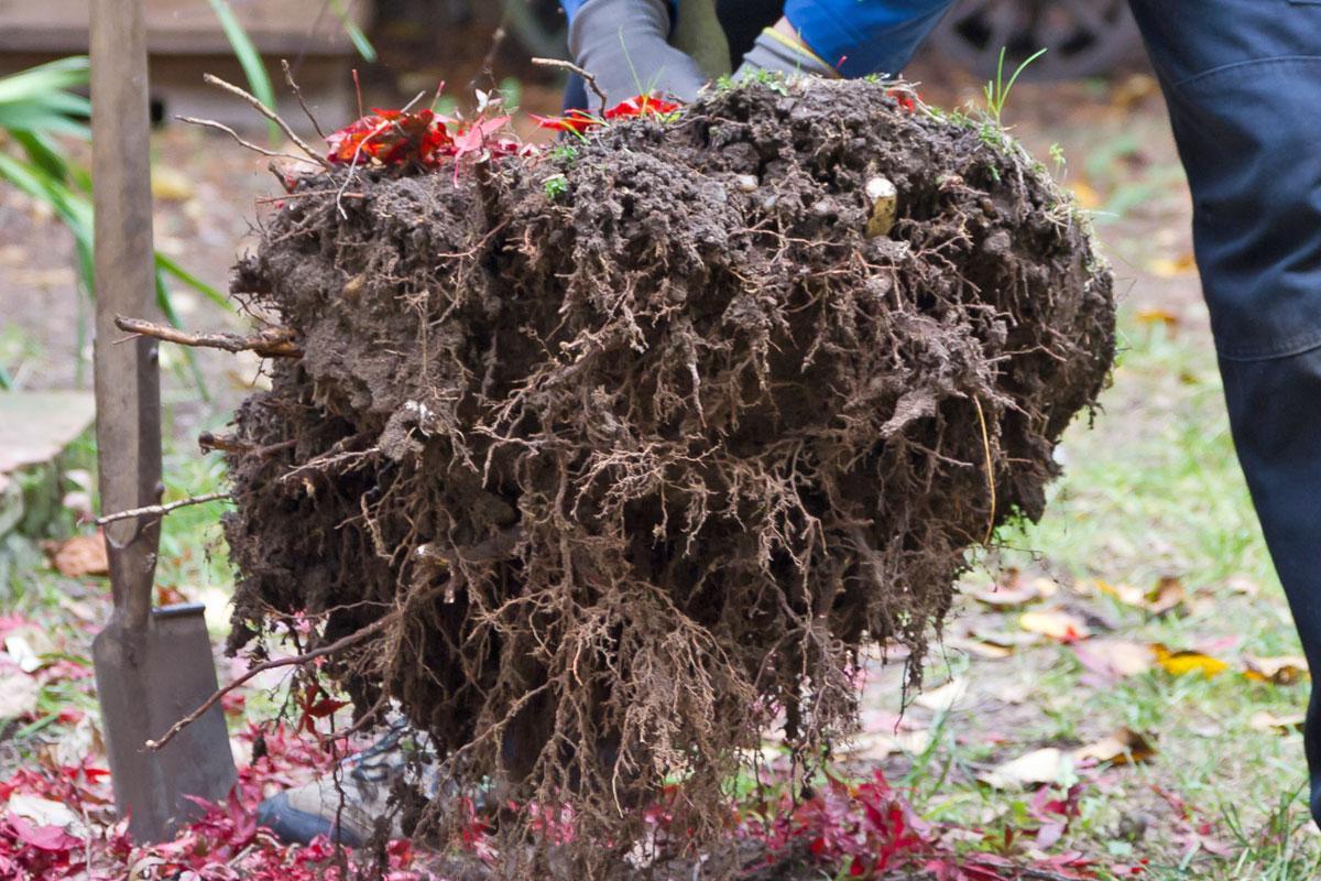 Bäume Umpflanzen baum umpflanzen im herbst garten diybook at