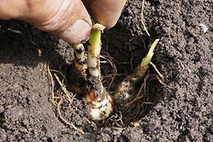 Blumenzwiebeln Pflanzen Ausgraben Vermehren Und Umpflanzen Anleitung Diybook At